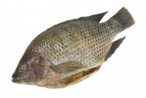 ugly nasty tilapia