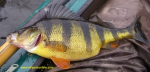 The Incredible Hulk of yellow perch.