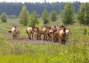 Despite radiation, with humans gone wildlife like these reintroduced Przewalski's horses are thriving near abandoned Chernobyl
