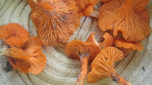 Chanterelle party in my hat!